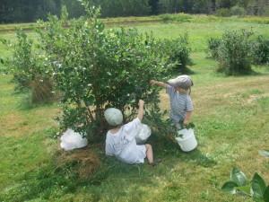 Blueberry picking at Estes 6, 8-4-10