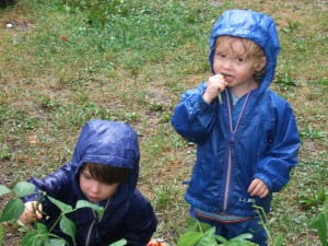 Picking Green Beans in the Rain, Aug. 25, 2010, 2