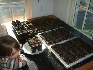 Connor watching the seedlings grow