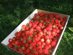 Box of Strawberries, June 2010