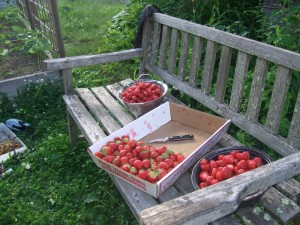 strawberry prep on the bench, June 2010
