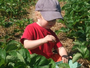 Ian in the strawberry patch 2, june 2010