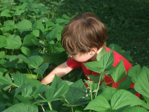 Connor picking Green Beans, July 2010