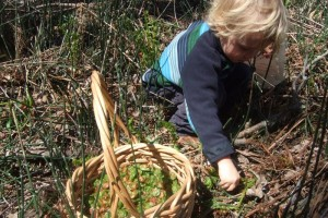 picking fiddlheads, May 1, 2011