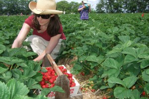 Strawberry Picking at Fairwinds, July 2011