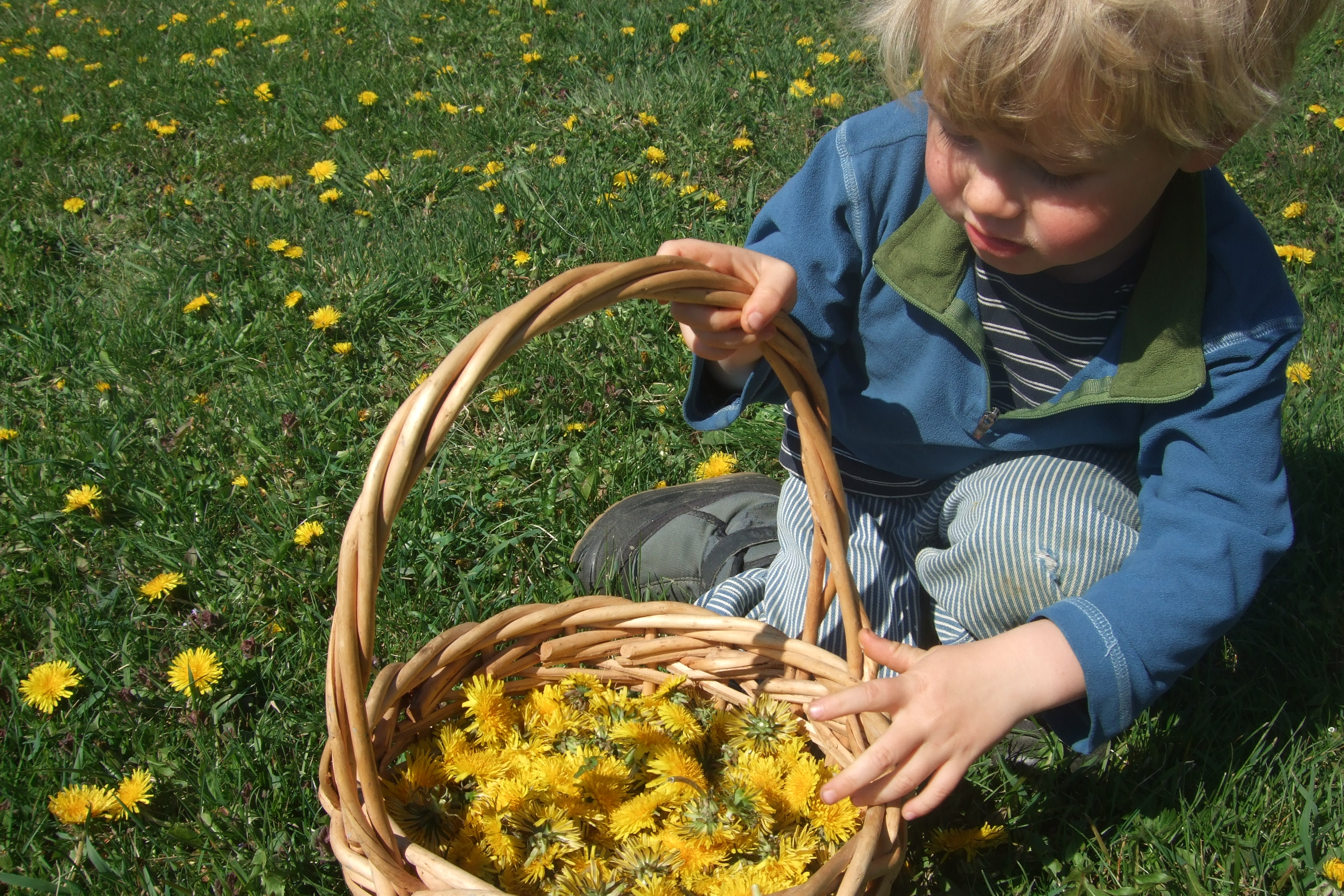 Ian picking dandelions for dandelion jelly