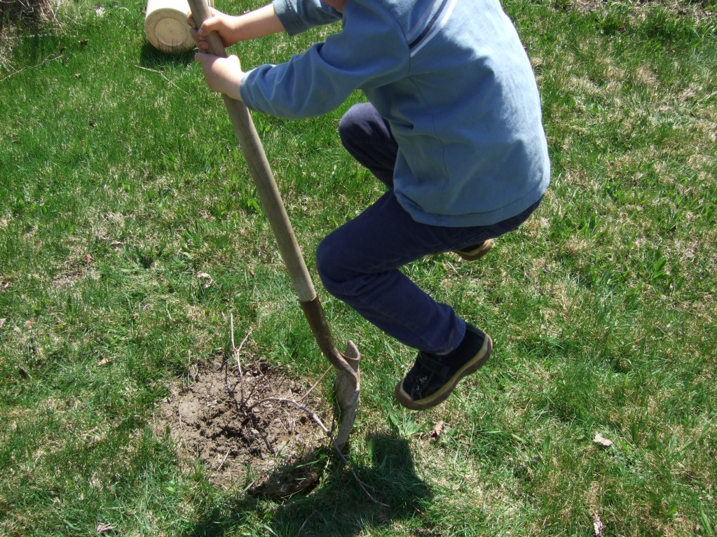connor transplanting grape